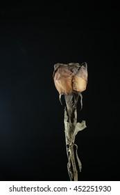 dried rose on black background. Vintage style.