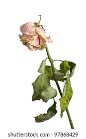 The dried rose on a white background