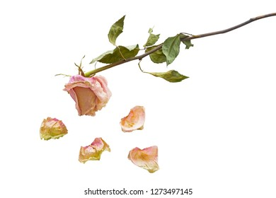 Dried rose with petals on white background, closeup shot