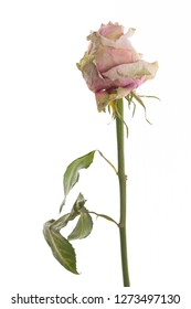 Dried rose standing in front of white background