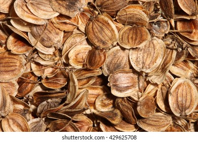 Dried, round, brown seeds of parsnip (Pastinaca sativa) fill the frame