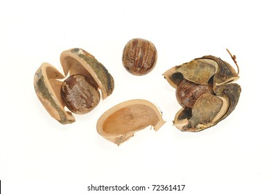 Dried Rubber Seeds With Shell Pods
