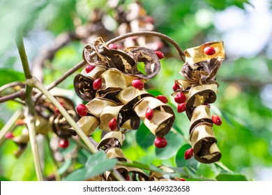 Dried seed pods with many red seeds of  Red sandalwood, Sandalwood, Bead tree, Coralwood (Adenanthera Pavonina) on tree in the tropical forest