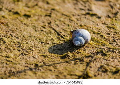 Dried shell snail