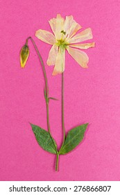 Dried stalk with buds and yellow flower translucent petals on pink background.