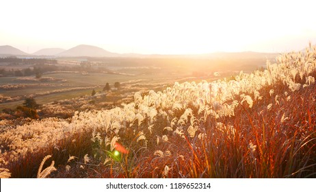 Dried stalks of reeds against the background of winter sunset - Jeju island - Saebyul Orum - common reed
