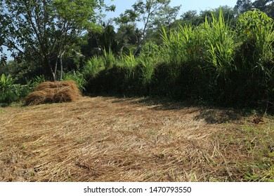 Dried straw is dried in the rice fields after harvest, in the background of trees and grass