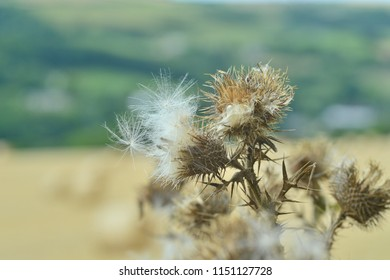 Dried thistle at the end of summer.