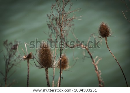 Dried thistles on the bank of a lake