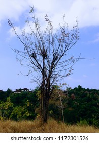 Dried Tree Almost Dead In The Plant Field Banjar Kuwum, Ringdikit, North Bali, Indonesia