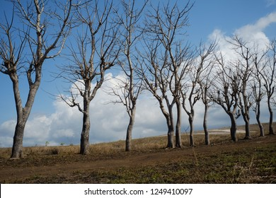 Dried trees in the Lolomogho Loura hill area of the Southwest Sumba border route with West Sumba.