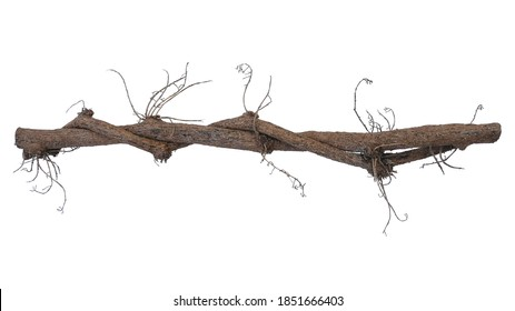 Dried twisted jungle vines climbing plant isolated on white background with clipping path. Vines and dried flower stalks of Tiliacora triandra medicinal flowering plant native to Southeast Asia.