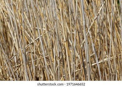 Dried Water Reed - Background