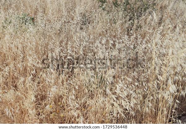 dried-weeds-on-field-main-600w-172953644