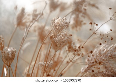 dried wild carrot flowers (Daucus carota) together with dried grass and spikelets beige close up on a blurred background - Shutterstock ID 1538937290