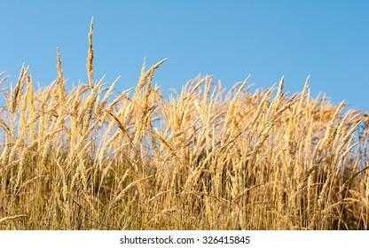Dried wild grass on mountain