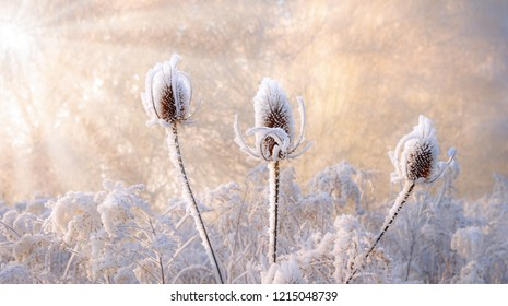 Dried wild teasel flower heads in a natural wildflower meadow were covered with hoarfrost on a cold sunny winter day, Rhineland, Germany