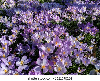 A drift of purple and white striped crocus flowers with yellow stamen in an English garden. A very pretty spring winter/spring flowering perennial bulb