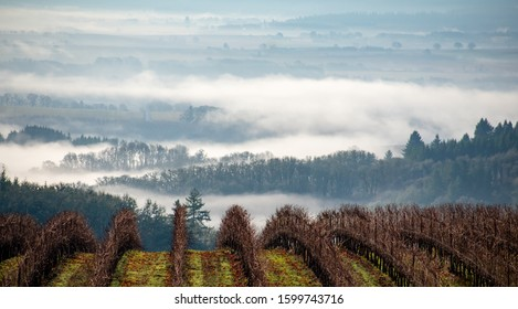 Drifts of fog settle into the valleys between hills and forest, Oregon vineyard in the foreground.