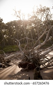 Driftwood trees on beach at sunset with sunflare
