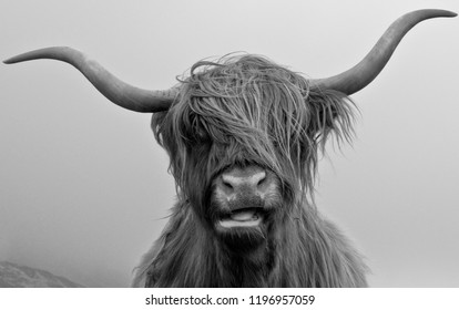 Drinan Highland Cow