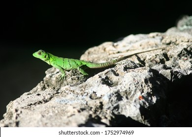 Drink lizard basking in the midday sun, as they grow they lose most of their greenery and acquire the color of that rock