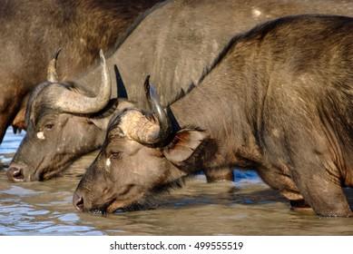 Drinking Buffalo Herd