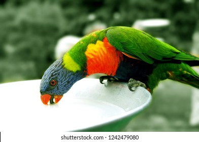 A Drinking Colorful Parrot