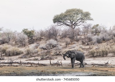 drinking elephant at Boteti river, Makgadikgadi Pans National Park, Botswana, Africa