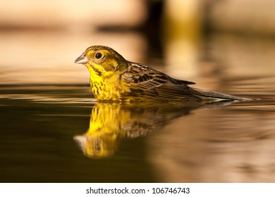 Drinking greenfinch reflecting in water