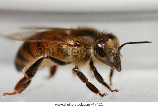drinking honeybee
