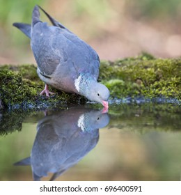 The drinking Pigeon
