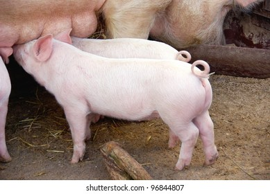 Drinking piglets with curling tails