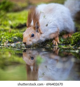 The drinking Red Squirrel