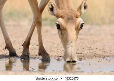 Drinking Saiga antelope (Saiga tatarica). Federal nature reserve Mekletinskii, Kalmykia, Russia, August, 2015