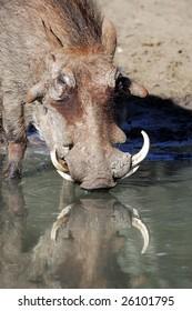 Drinking Warthog