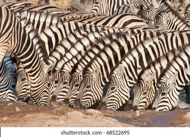 Drinking zebra herd