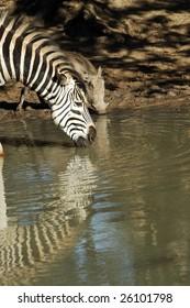 Drinking Zebra and Warthog
