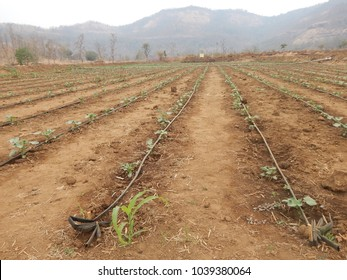 Drip irrigation in Indian farming in villages of Maharashtra