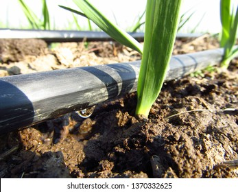 Drip irrigation, micro-irrigation system in a garlic plantation. Water saving. Close-up.
