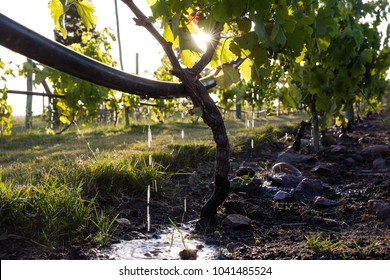 Drip irrigation on a vineyard with the sun peaking through the leafes.