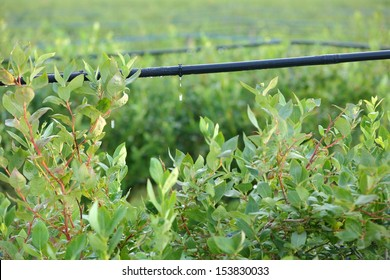 Drip Irrigation System, Blueberry Bushes. Water saving drip irrigation system being used in a Blueberry field.