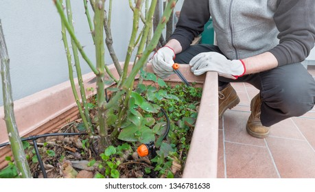 Drip irrigation system and drippers in flower pot with rose plants