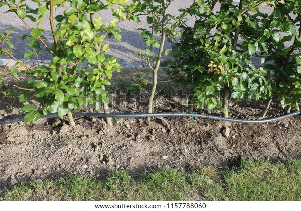 Drip Irrigation System Garden Irrigation Drip Stock Photo