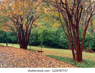 Drive way and yard with crepe myrtle trees in fall