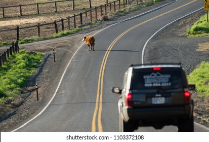 A driver encounters a cow wandering down the road and must slow down to pass safely