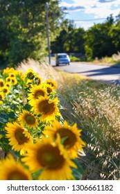 Driving car at rural street near sunflower field