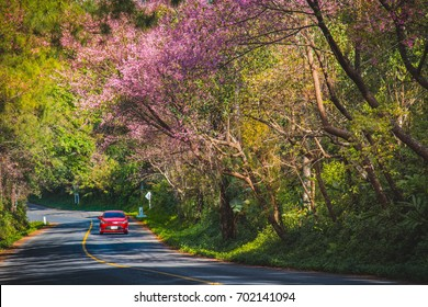 Driving through the tunnel of Wild Himalayan Cherry in Ang Khang, Chiang Mai, Thailand. Romantic road with Himalayan Sakura background.
