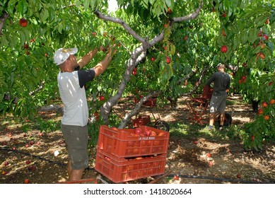 Drome, France, July 2009. Harvest nectarine. Students and seasonal workers who are picking nectarines fruit from tree in a orchard.