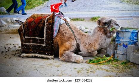 dromedarie lied in the street in the region of capadocia in Turkey